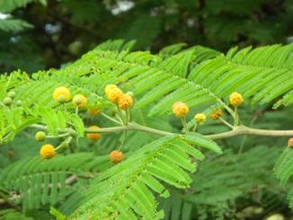 Vachellia macracantha