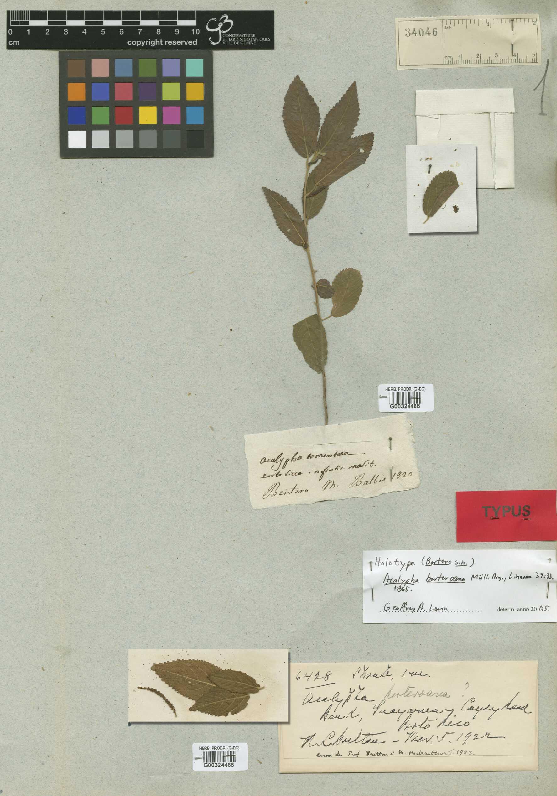 Acalypha berteroana