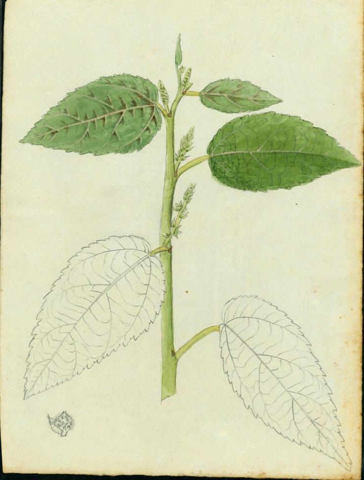 Acalypha portoricensis