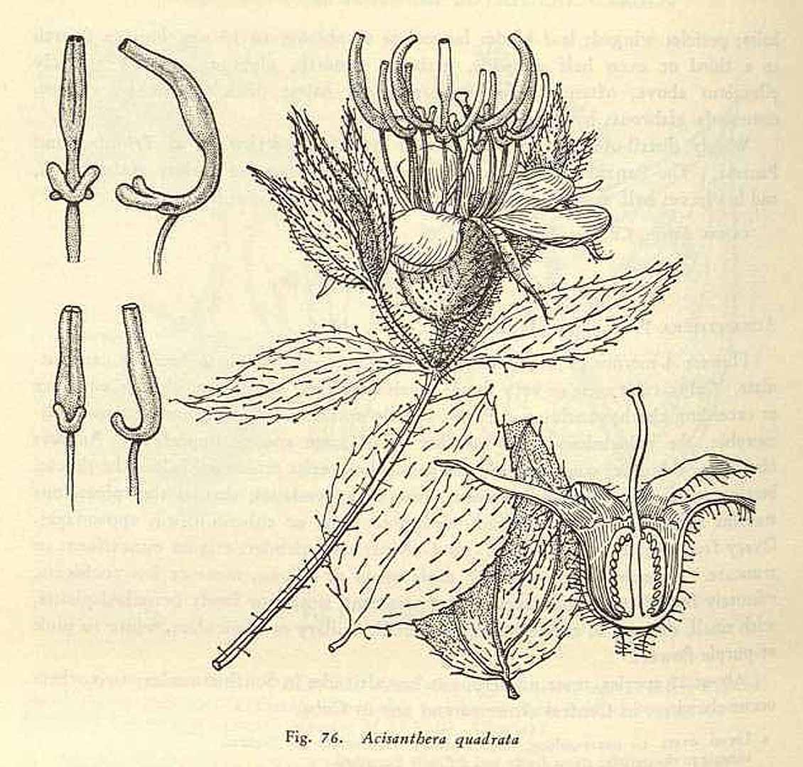 Acisanthera quadrata