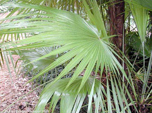 Acoelorraphe wrightii