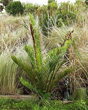 Acrostichum danaeifolium