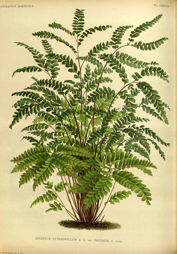 Adiantum tetraphyllum