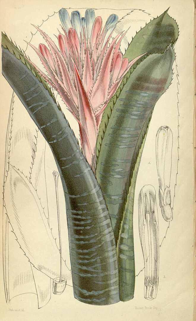 Aechmea fasciata