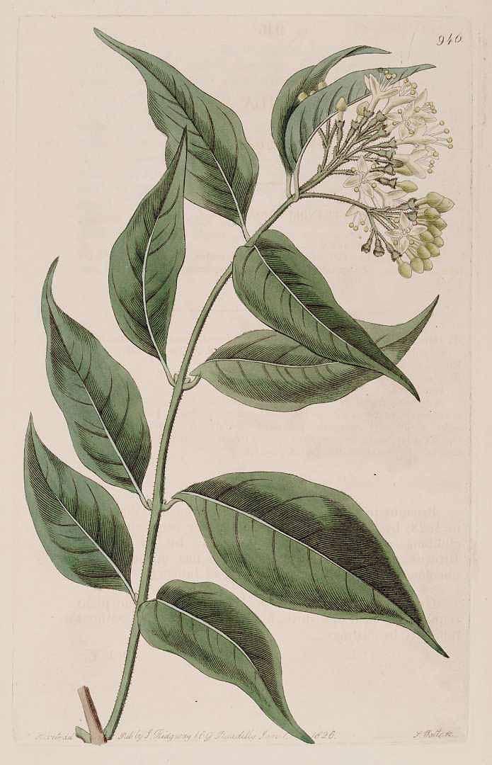 Aegiphila elata