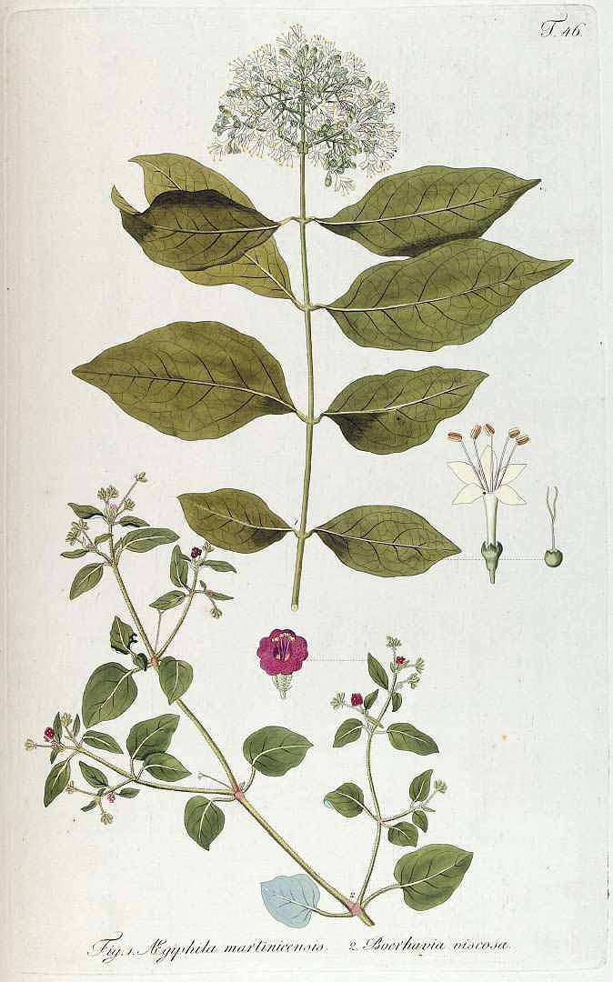 Aegiphila martinicensis