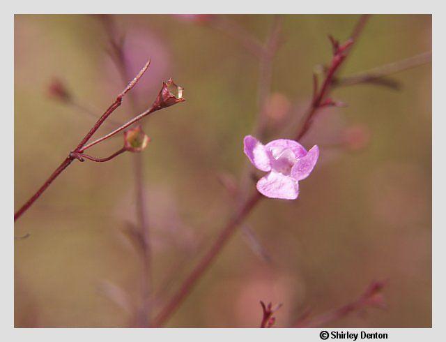 Agalinis obtusifolia