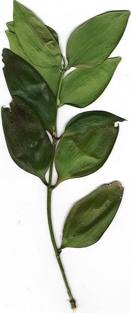 Agathis robusta