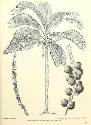 Aiphanes minima