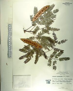 Albizia lebbekoides