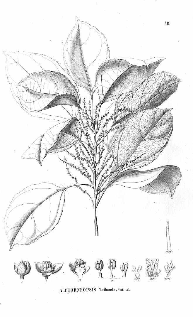 Alchorneopsis floribunda