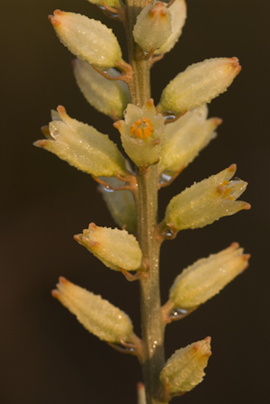 Aletris bracteata