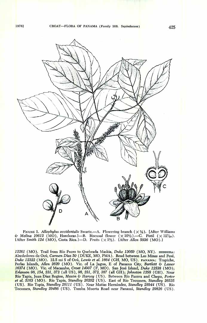 Allophylus racemosus