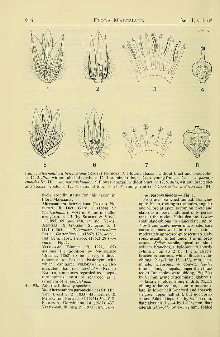 Alternanthera bettzickiana