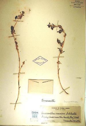 Amaranthus crassipes