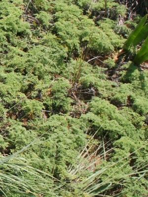 Ambrosia hispida