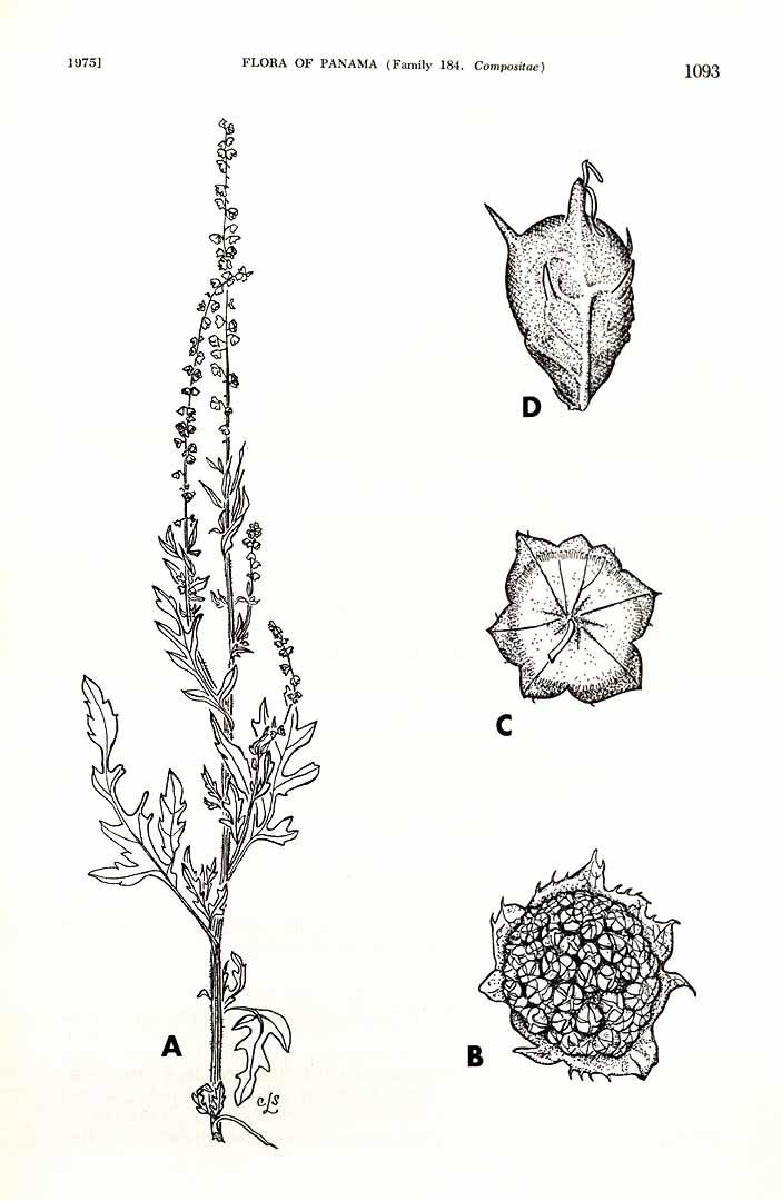 Ambrosia peruviana