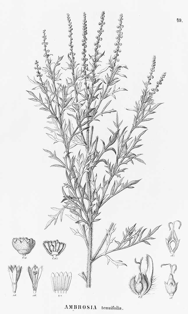 Ambrosia tenuifolia