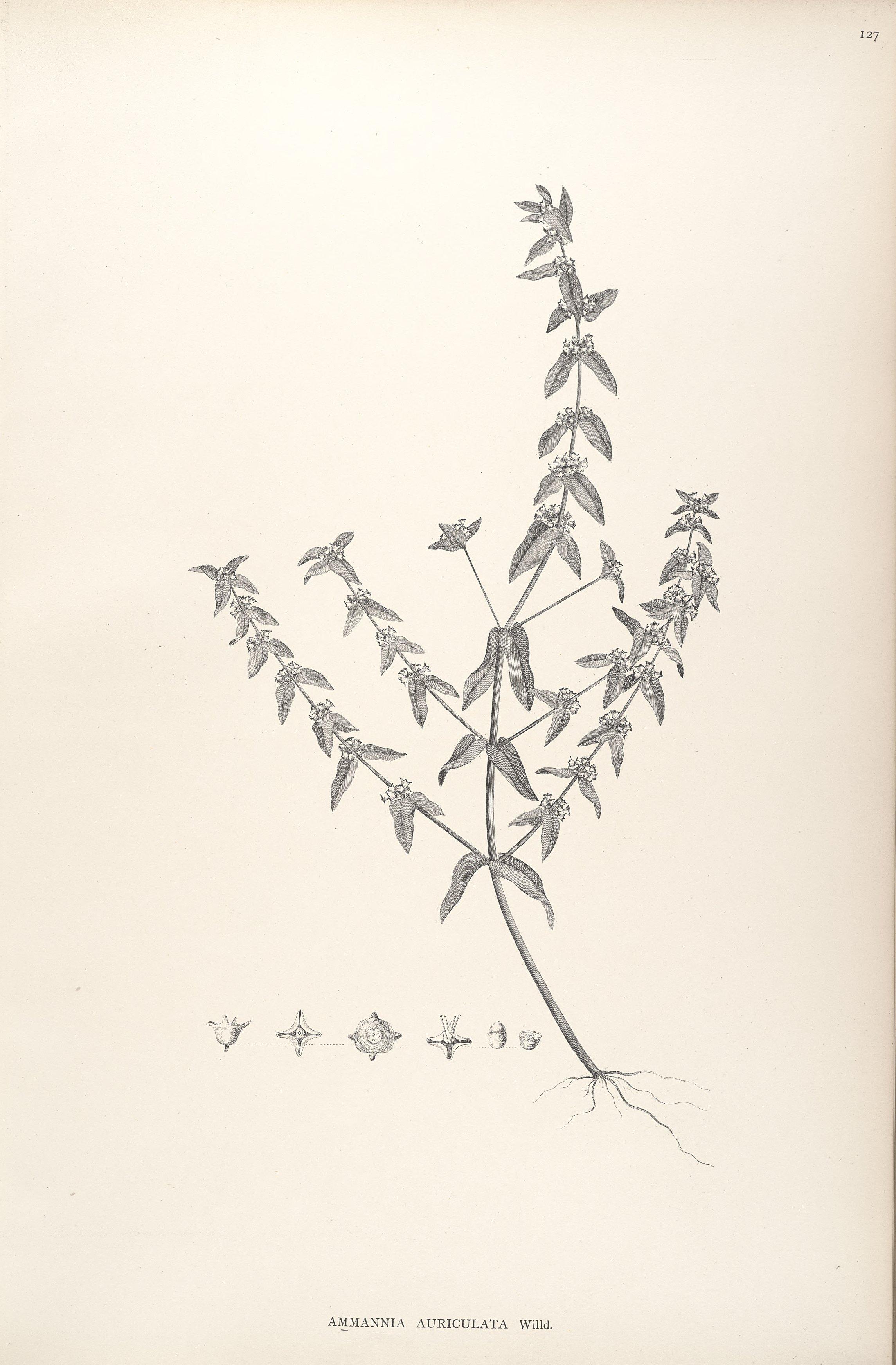 Ammannia auriculata