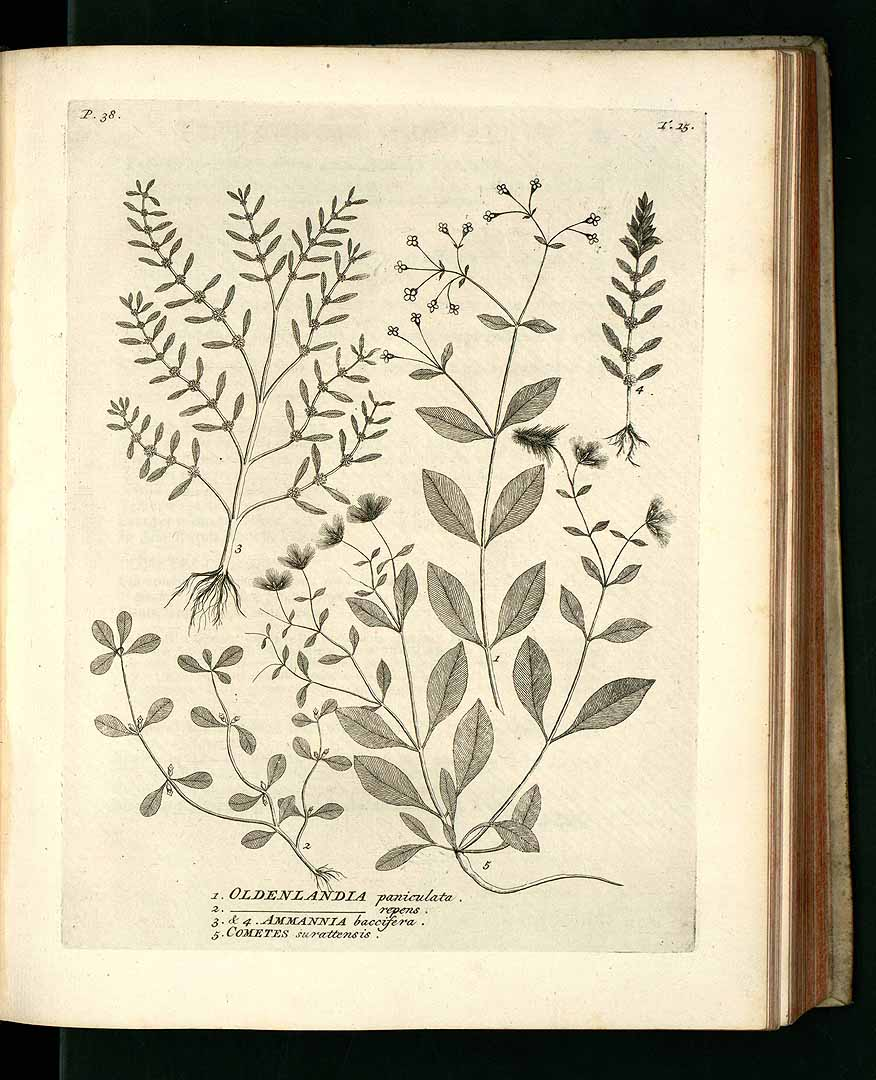 Ammannia baccifera