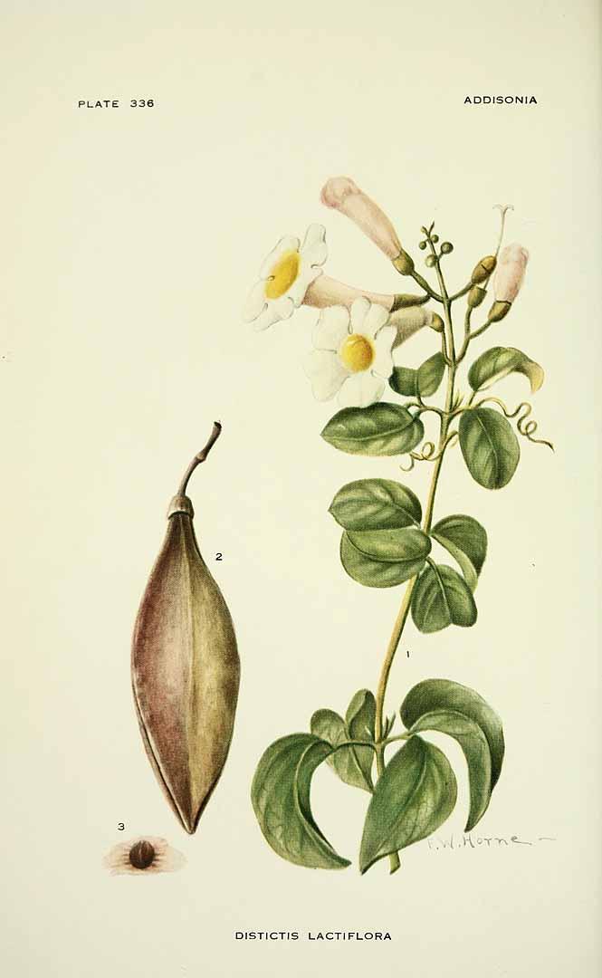 Amphilophium lactiflorum