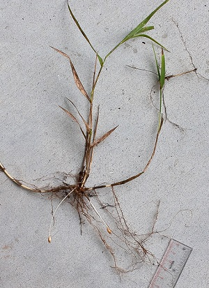 Amphicarpum muhlenbergianum
