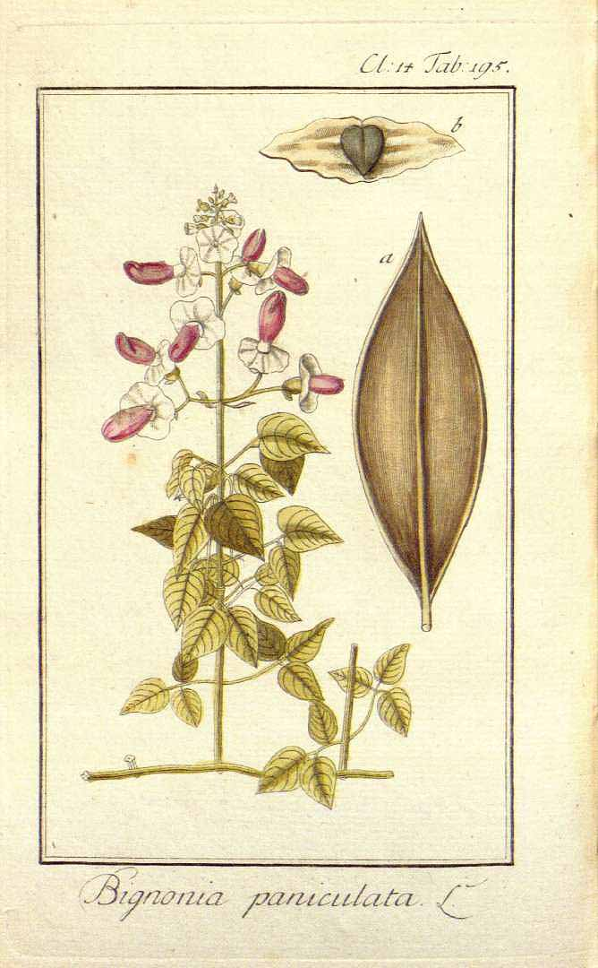 Amphilophium paniculatum
