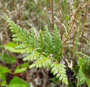 Anemia adiantifolia