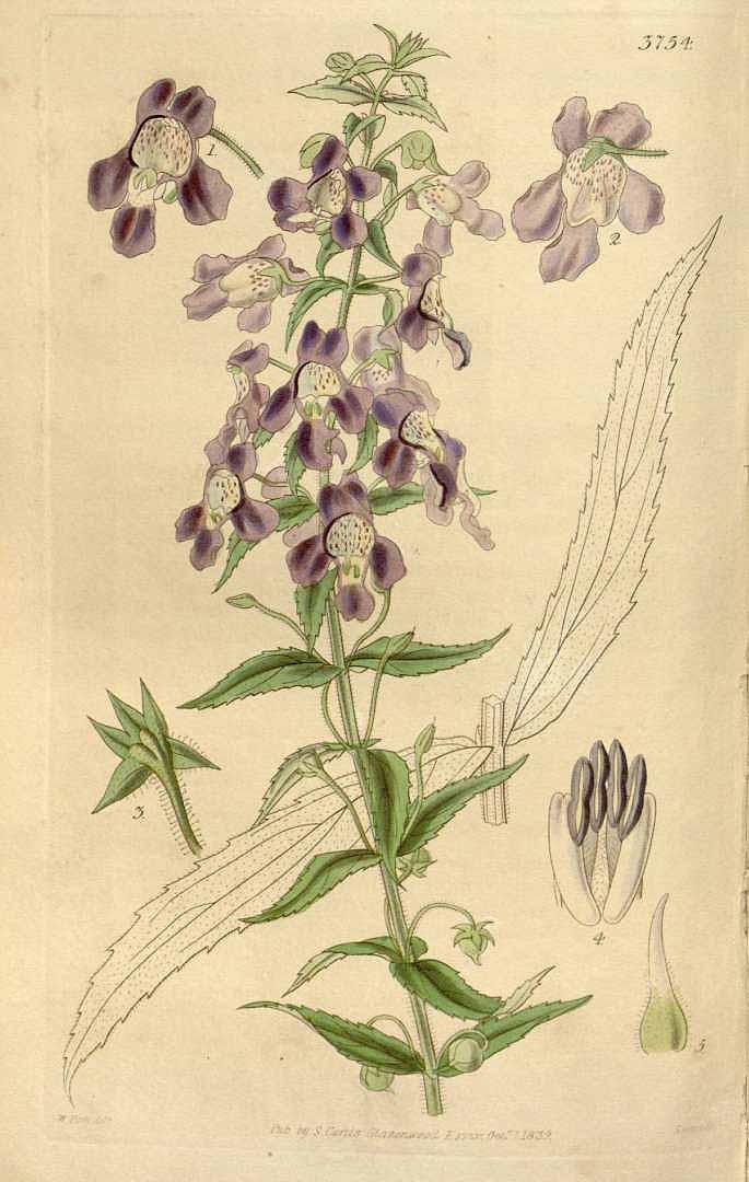 Angelonia gardneri