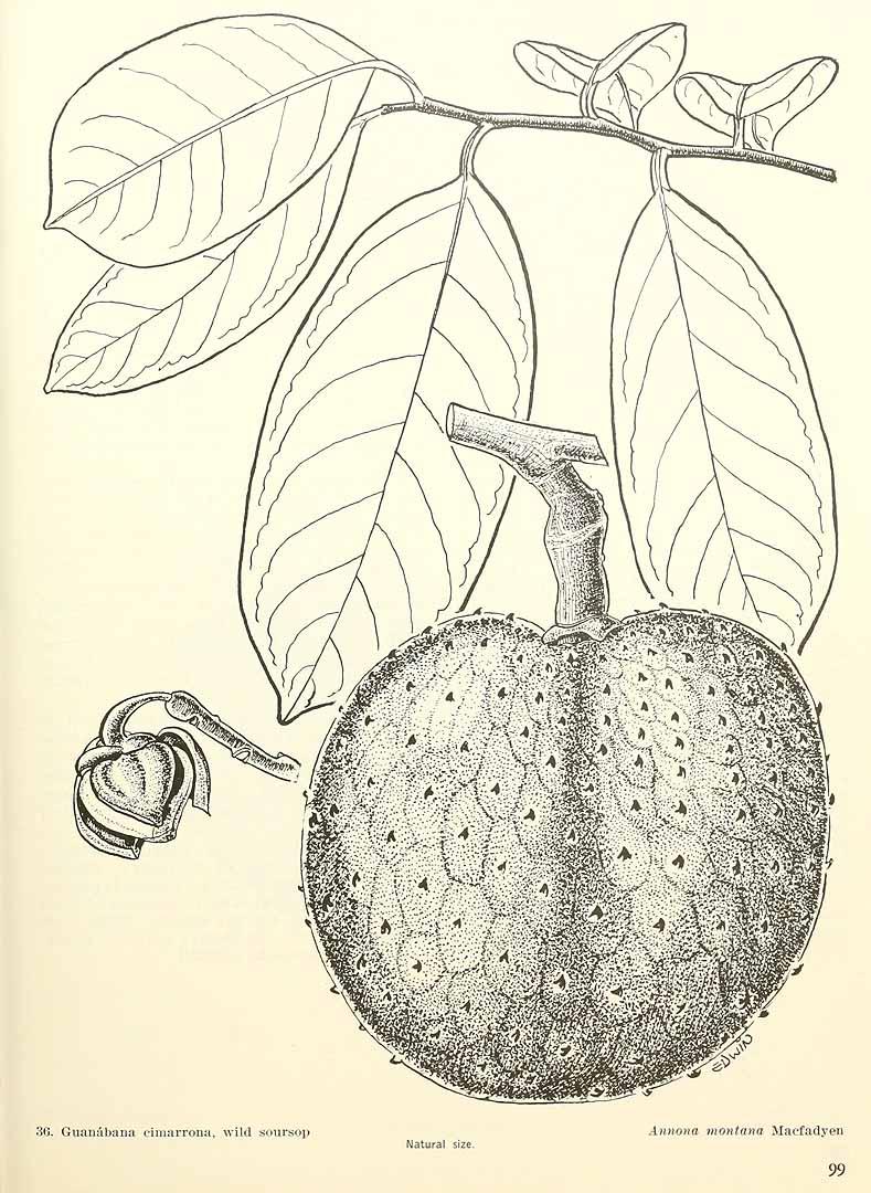 Annona montana