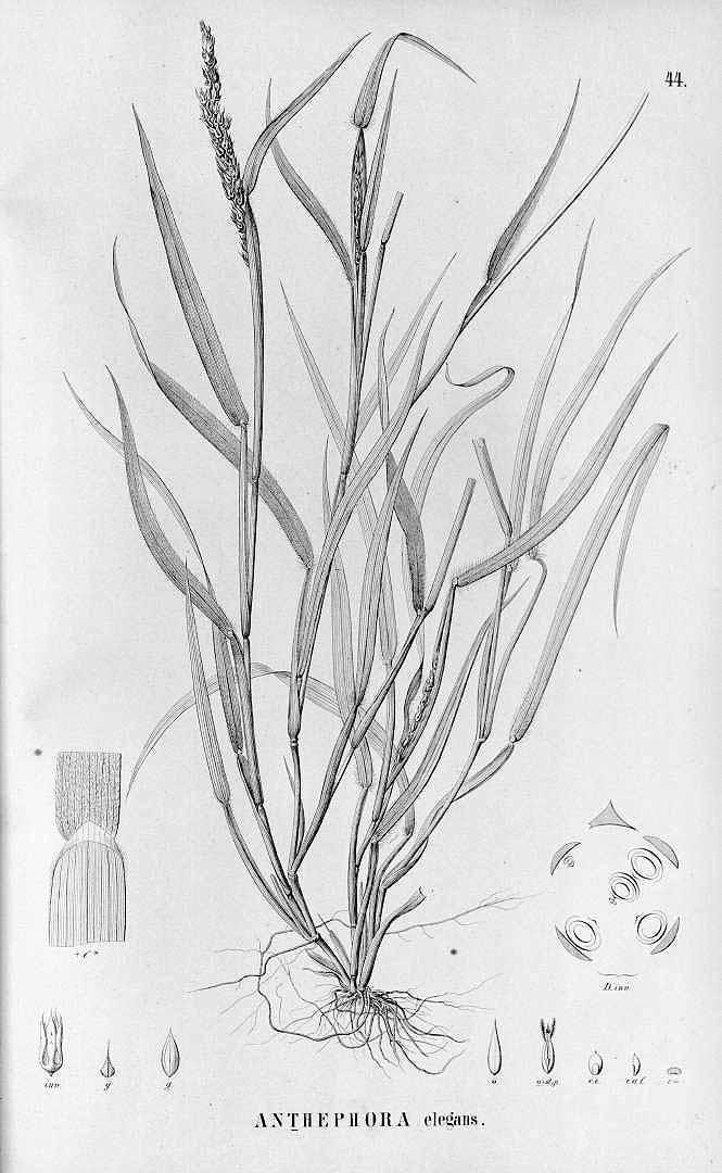 Anthephora hermaphrodita