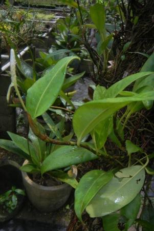 Anthurium scandens