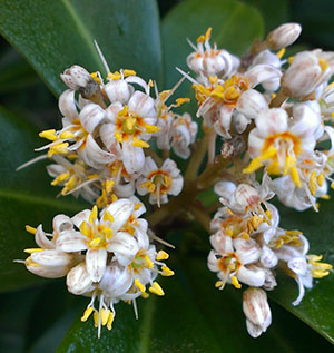 Ardisia escallonioides