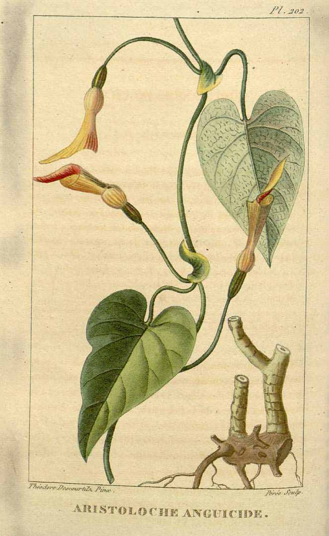 Aristolochia anguicida