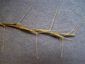 Aristida palustris