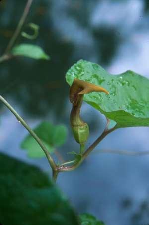 Aristolochia pentandra
