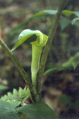 Arisaema triphyllum