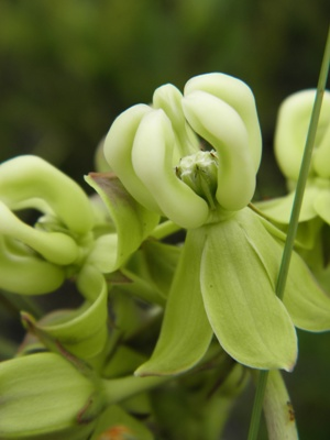 Asclepias connivens
