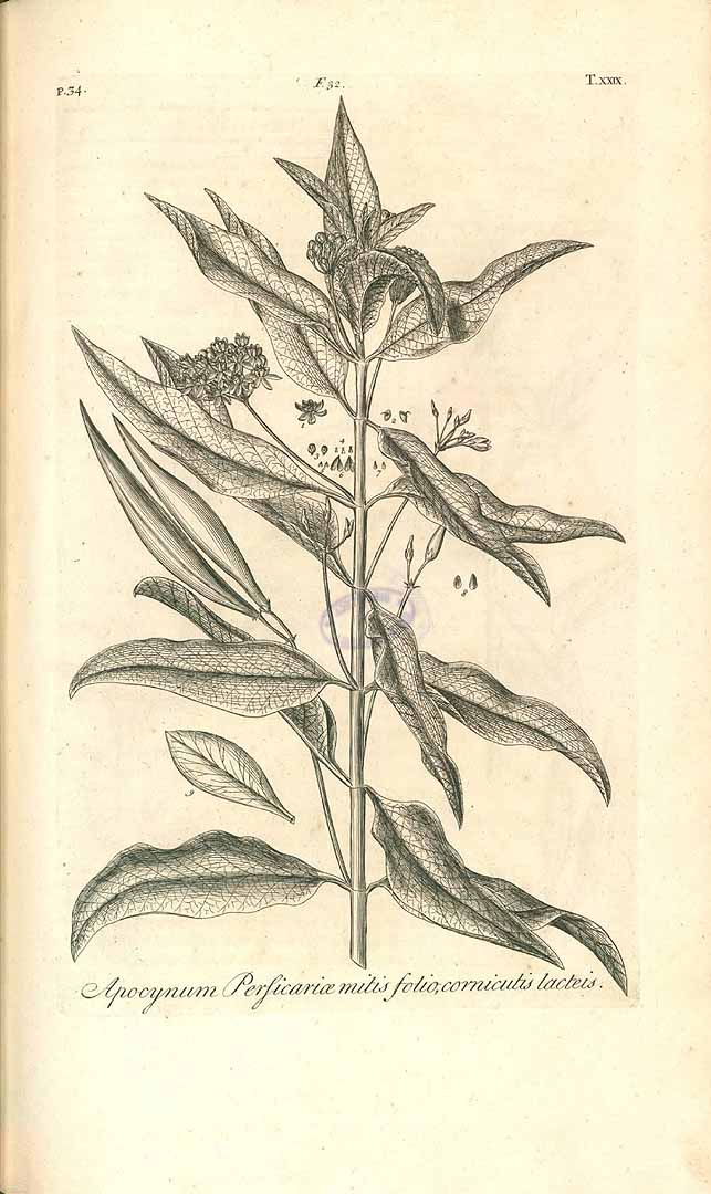 Asclepias nivea