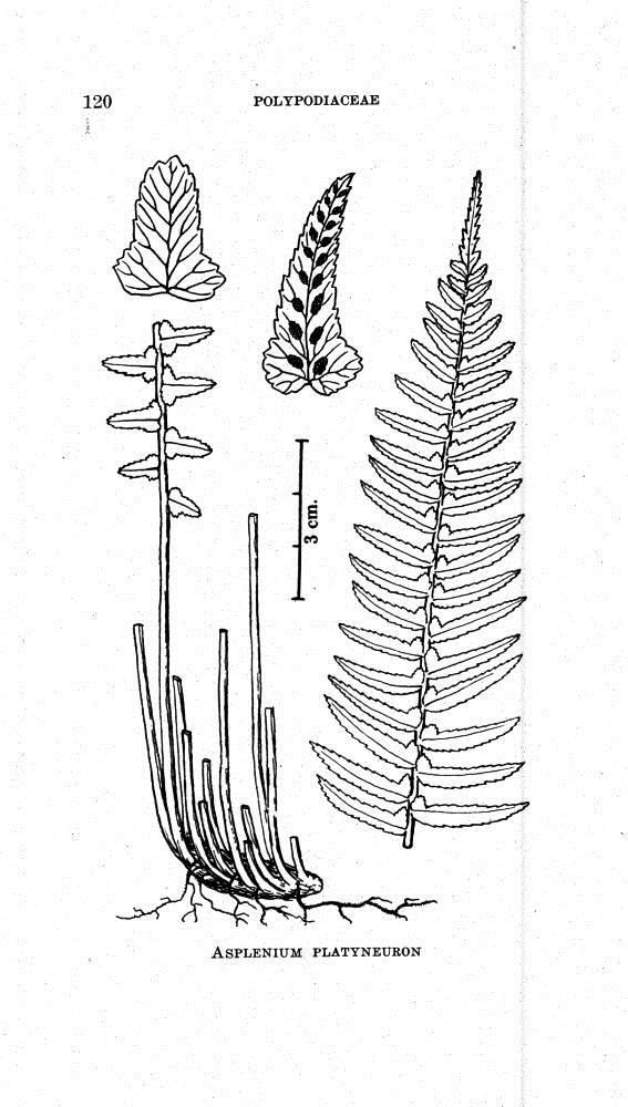 Asplenium platyneuron