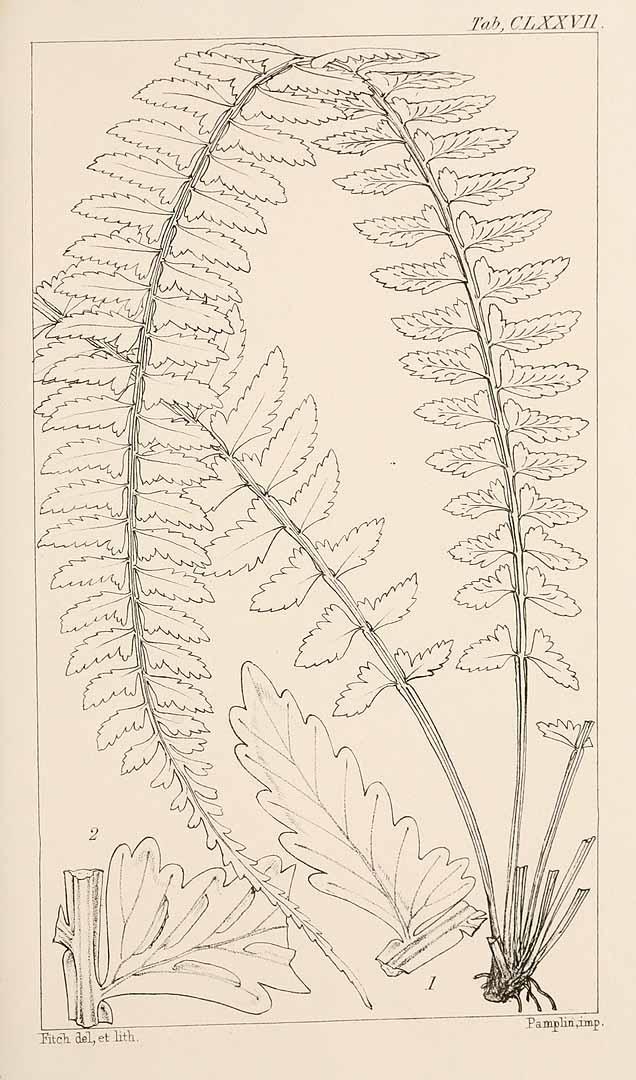 Asplenium pteropus