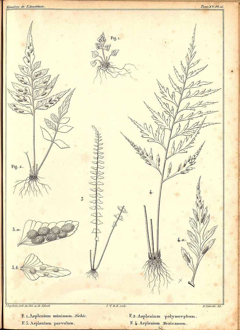 Asplenium pumilum