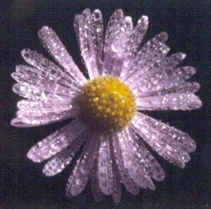Symphyotrichum tenuifolium