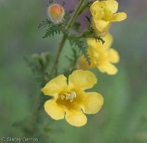 Aureolaria pedicularia