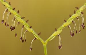 Axonopus furcatus
