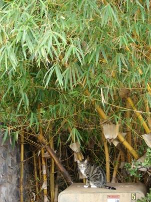 Bambusa vulgaris