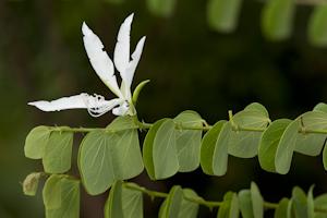 Bauhinia aculeata