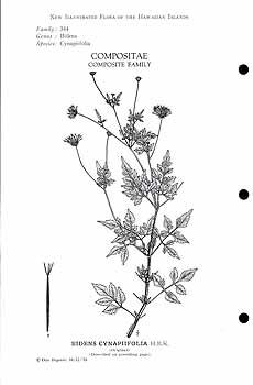 Bidens cynapiifolia