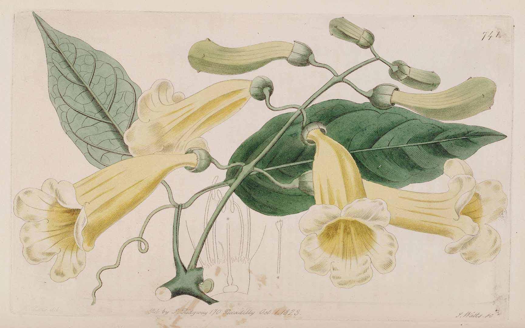 Bignonia aequinoctialis