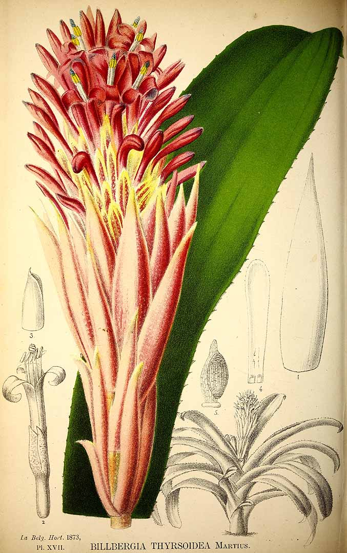 Billbergia pyramidalis